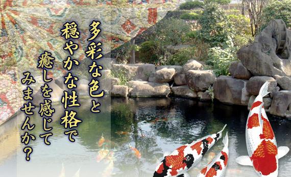 トップページ 錦鯉 福岡県北九州市 販売