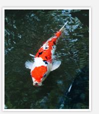 日本文化の中の「泳ぐ芸術品」 錦鯉とは