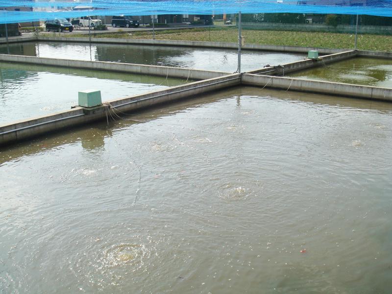 稚魚の泥池1