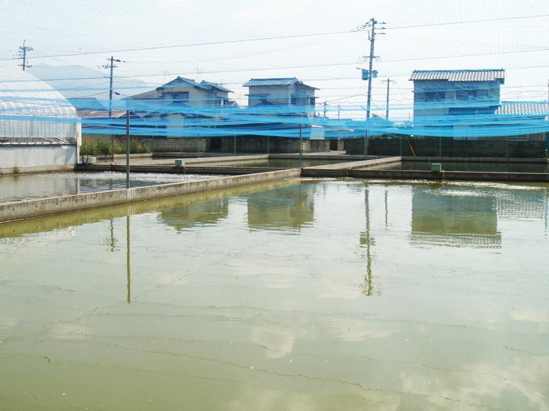 稚魚の泥池2