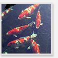錦鯉の基礎知識