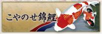 こやのせ錦鯉 錦鯉 福岡県北九州市 販売